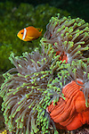 Nemo Thila, Maarehaa Island, Huvadhoo Atoll, Maldives; a Blackfinned Anemonefish (Amphiprion nigripes) in a red and green Magnificent Sea Anemone