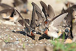 Cliff Swallows (Petrochelidon pyrrhonota) coming to muddy puddle to gather mud as nesting material, Mono Lake Basin, California, USA