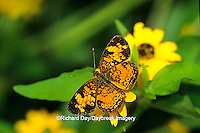 03380-00510  Pearl Crescent butterfly (Phyciodes tharos) on Million Gold Melampodium (Melampodium paludosum) Marion Co. IL