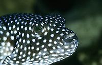 Perlhuhn-Kugelfisch, Punktierter Kugelfisch, Arothron meleagris, guineafowl puffer, golden puffer, Arothron Puffer