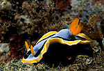 Milne Bay, Papua New Guinea; (Chromodoris annae) Nudibranch , Copyright © Matthew Meier, matthewmeierphoto.com All Rights Reserved