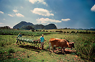 "Cuba, March 1992: Following the harvest , the tobacco is carried on the ""cujes"" near Vignales in Cuba. It will be stored in the Casa de Tobaco, where it will begin to dry and ferment."