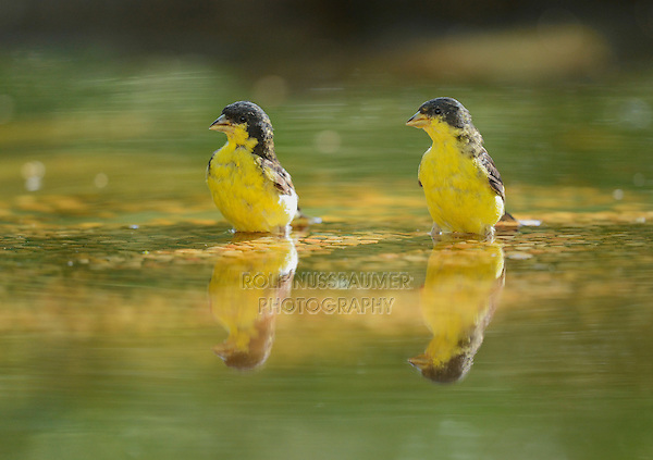 Lesser Goldfinch (Carduelis psaltria), males bathing, Hill Country, Texas, USA