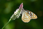Dark Blue Tiger Butterfly ( Tirumala septentrionis septentrionis)