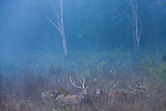 Chital deer, Kanha National Park, India