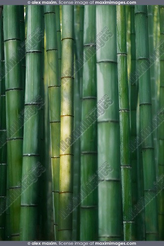 Beautiful Bamboo forest in bright morning light, abstract closeup background of green bamboos culms in Arashiyama, Kyoto, Japan. Image © MaximImages, License at https://www.maximimages.com