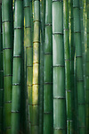 Beautiful Bamboo forest in bright morning light, abstract closeup background of green bamboos culms in Arashiyama, Kyoto, Japan.