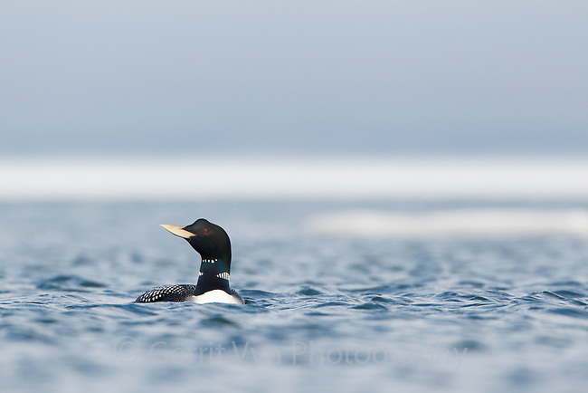 Yellow-billed Loon (Gavia adamsii). Chukotka, Russia. June.