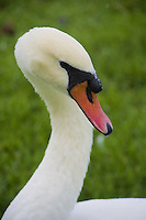 Mute swan, Morton Lake, Lakeland, Florida