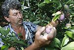 Foto: VidiPhoto<br /> <br /> SLIJK-EWIJK &ndash; Bij fruitteler Frederik Bunt in het Betuwse Slijk-Ewijk, de grootste pruimenteler van ons land, worden maandag al volop pruimen geoogst door zijn Poolse werknemers. Het is ditmaal een spannend jaar voor pruimentelers, immers tijdens de vorstperiode van afgelopen voorjaar is veel bloesem bevroren, met als gevolg een flink lagere oogst. Om toch nog wat te verdienen moeten de pruimenprijzen flink stijgen. Op dit moment is dat inderdaad het geval. De vraag is, volgens Bunt, echter of dat komt vanwege het begin van het pruimenseizoen -dan liggen de prijzen vaak wat hoger- of dat de groothandel alvast inspeelt op de te verwachtte tekorten. Bij de Betuwse pruimenteler hangen er alleen nog redelijk wat pruimen aan de oude en dus grotere bomen, maar is er aan de jonge bomen vrijwel geen pruim te vinden. In Zeeland zijn er telers die nog geen 10 procent van hun normale opbrengst hebben, terwijl in Noord-Holland veel pruimenbomen vol hangen met vruchten.