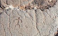 A petroglyph or ki'i pohaku at 'Anaeho'omalu Petroglyph Field (a.k.a. Waikoloa Petroglyph Field), Big Island.