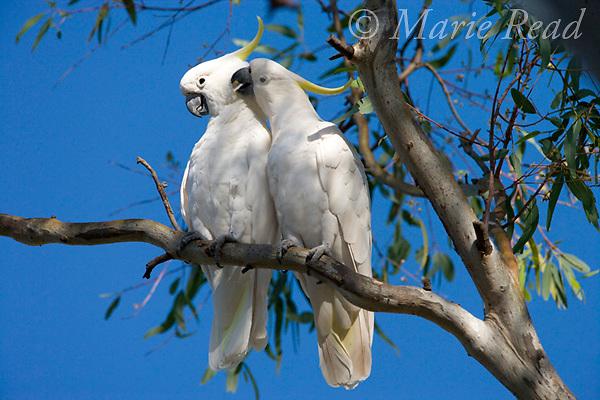 Sulphur-crested Cockatoos (Cacatua galerita), one preening its mate during courtship, Queensland, Australia.
