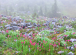 Mount Rainier National Park,  WA  <br /> Alpine meadow with rocks and wildflowers distant trees in fog along the Paradise Meadows