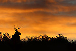 Whitetail Deer Buck at Sunrise