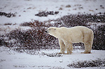 Polar bear in snow storm
