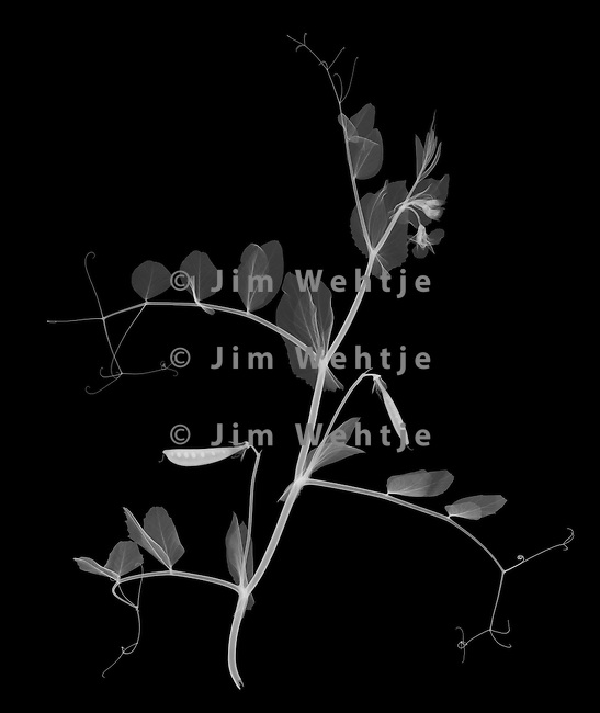 X-ray image of a garden pea plant (white on black) by Jim Wehtje, specialist in x-ray art and design images.