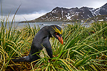 South Georgia Island, macaroni penguin (Eudyptes chrysolophus) , Cooper Bay