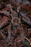 Tarantula, sp. unknown, Family: Theraphosidae, Ground Dwelling, on rainforest floor, Sabah Borneo.Borneo....