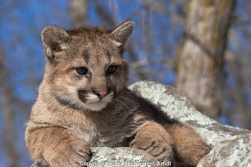 Cougar cub (Puma concolor) sitting on a rock.  Winter.   Minnesota.