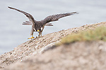 La Jolla, California; a female Peregrine Falcon (Falco peregrinus) raises its wings in preparation for flight, on a rock at the top of a cliff, on an overcast morning with the ocean in the background