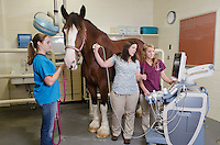 Dr. Robin Fontenot with class of 2015 student Sam Lesniewski perform ultrasound on equine patient.