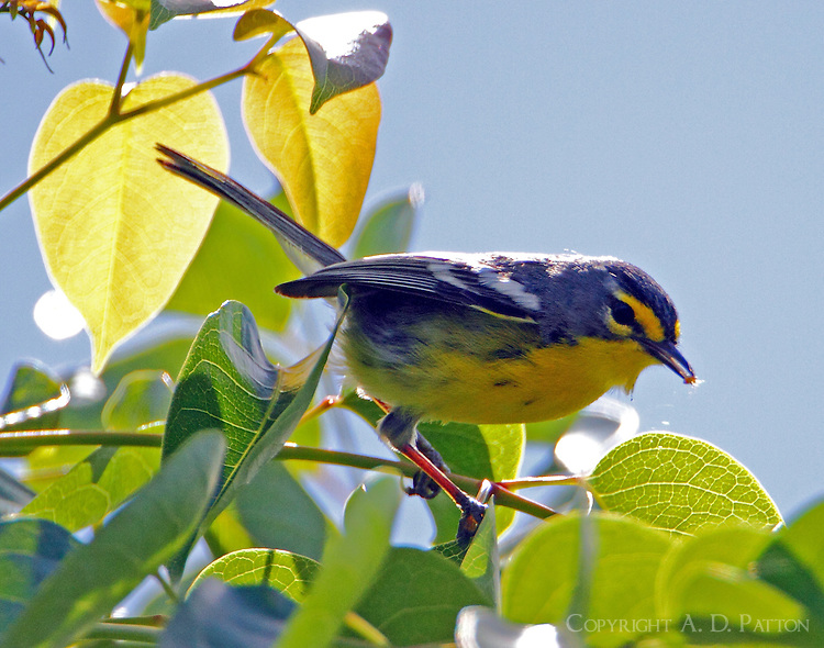 Adelaide's warbler with insect