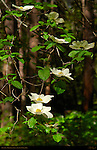 Pacific Dogwood Blossoms, Cornus nuttallii, Mirror Lake Trail in Spring, Yosemite National Park