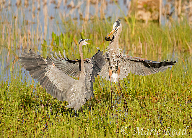 Great Blue Herons (Ardea herodias) two fighting over prey (Greater Siren, a type of giant salamander), Viera Wetlands, Florida