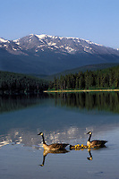 Canada Geese pair with chicks. Patricia Lake. Jasper National Park, Alberta. Canada. Rocky Mountains. (Branta canadensis).