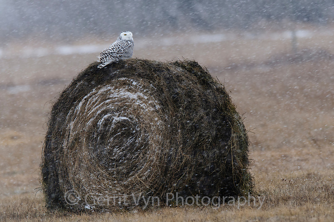 Immature female Snowy Owl (Bubo scandiacus). Ontario, Canada. January.