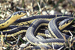 Garter snake ball emerging from winter hibernation, Thamnophis sirtalis