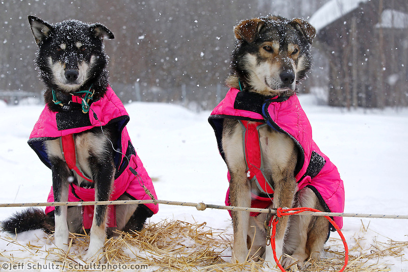 Deedee Jonrowe's dogs Gouda, left, and Cheddar, litter mates, rest at the Takotna checkpoint just before dawn on Wednesday March 6, 2013...Iditarod Sled Dog Race 2013..Photo by Jeff Schultz copyright 2013 DO NOT REPRODUCE WITHOUT PERMISSION