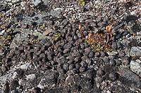 Rentier, Ren, Losung, Kot in den Bergen Skandinaviens, Rangifer tarandus, reindeer
