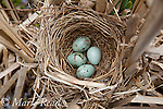 Red-winged Blackbird (Agelaius phoeniceus) nest containing 4 eggs, in cattail marsh, New York, USA