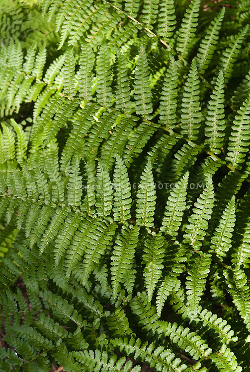 Dryopteris filix-mas 'Barnesii' Male Fern