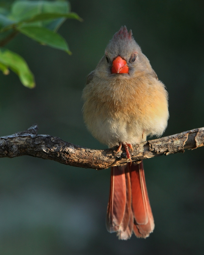 """Sleepy"" female Cardinal at first light.."
