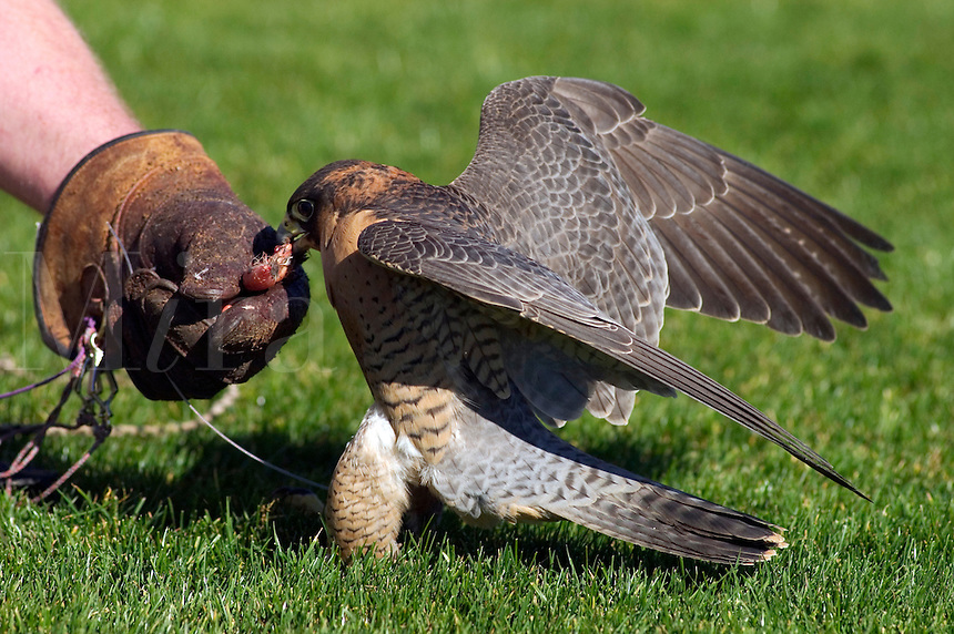 A Barbary Falcon (Falco pelegrinoides) is rewarded with food after being flown by its handeler