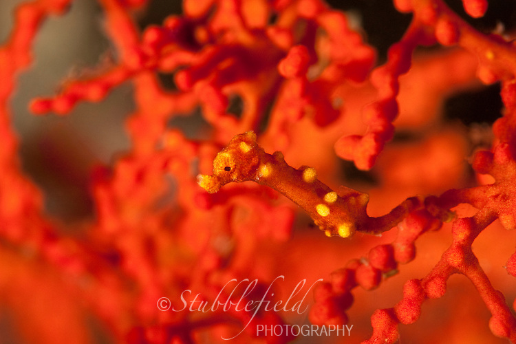 Pygmy Seahorse (Hippocampus bargibanti) on Gorgonian Sea Fan (Muricella sp.), Lembeh Strait, North Sulawesi, Indonesia