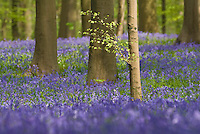 Bluebells Hyacinthoides non-scripta carpet in Hallerbos mixed forest, Belgium