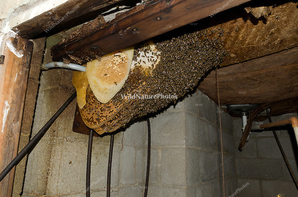 Africanized Honeybees (Apis mellifera), a large colony under a built-in barbeque near a house (Arizona)
