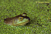 FR01-011a  Bullfrog - adult in duckweed pond - Lithobates catesbeiana, formerly Rana catesbeiana