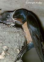 BA08-001z   Barn Swallow - parent feeding young - Hirundo rustica
