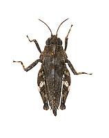 Common Groundhopper - Tetrix undata