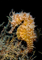 Lined seahorses (Hippocampus erectus), Riviera Beach, Florida, USA, Atlantic Ocean