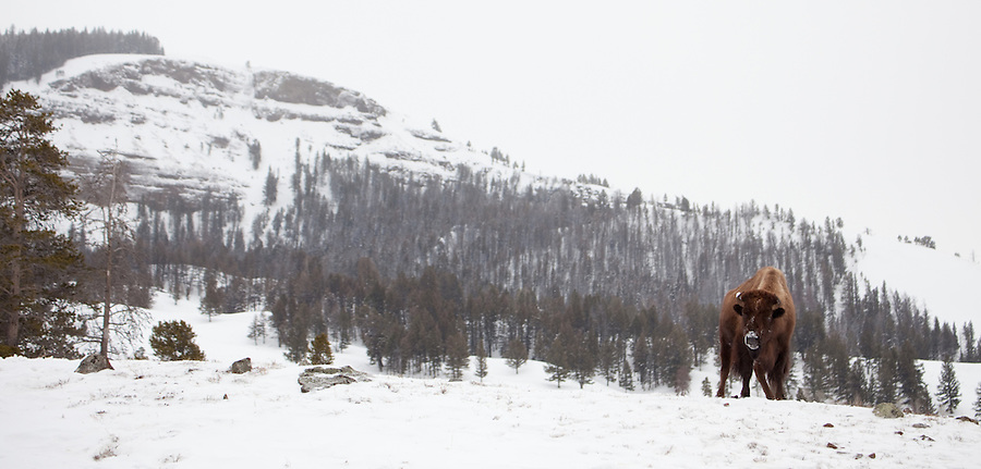 A single buffalo walks on a snowy hillside in Yellowstone National Park.