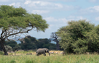 African Elephant, Loxodonta africana, walks past a mixed herd of zebras and wildebeest in Tarangire National Park, Tanzania