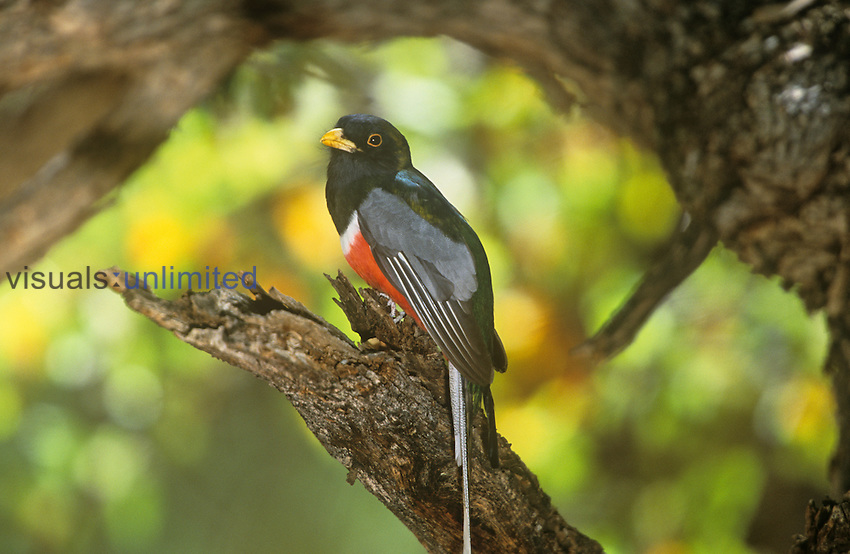 Male Elegant Trogon (Trogon elegans), Arizona, USA.