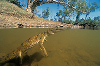 freshwater crocodile, Crocodylus johnstoni, c, Queensland, Australia