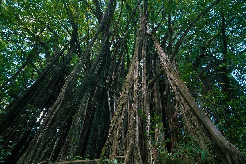 Banyan Tree (Ficus benghalensis), Big Island, Hawaii, US