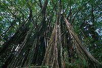 Banyan Tree (Ficus benghalensis), Big Island, Hawaii, US